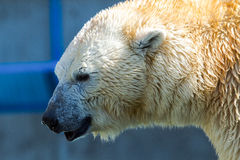 Portrait of a great white bear Royalty Free Stock Photo