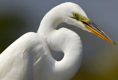 Portrait of a Great White Egret Stock Images