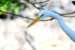 Portrait of great white egret Royalty Free Stock Photo