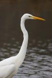 Portrait great white egret egretta alba Royalty Free Stock Photos