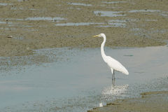 Portrait of a Great White Heron. On the beach during low tide Stock Image