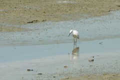 Portrait of a Great White Heron. On the beach during low tide Royalty Free Stock Photos