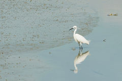 Portrait of a Great White Heron. On the beach during low tide Stock Photography