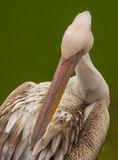 Portrait of a Great White Pelican Royalty Free Stock Photo