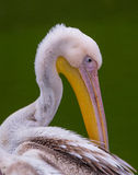 Portrait of a Great White Pelican Royalty Free Stock Photography