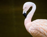Portrait of greater flamingo (Phoenicopterus roseus) Royalty Free Stock Photo