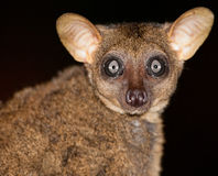 Portrait of a Greater Galago. Stock Photos