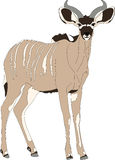 Portrait of a greater kudu antelope Royalty Free Stock Photo