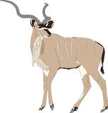 Portrait of a greater kudu antelope Royalty Free Stock Photos