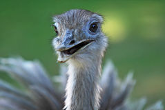 Portrait of Greater Rhea Royalty Free Stock Photography