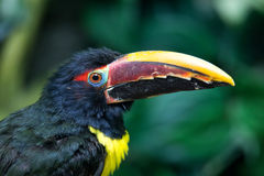 Portrait of Green Aracari Royalty Free Stock Photography