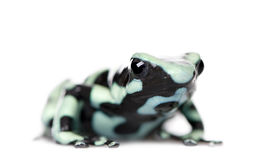 Portrait of Green and Black Poison Dart Frog Royalty Free Stock Image