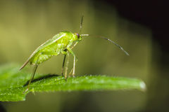 Portrait of a green bug Stock Image