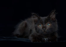 Portrait green eyed black and brown kitten on black. Portrait of a Black and chocolate brown long haired tabby kitten laying on black velvet blanket looking Royalty Free Stock Photography