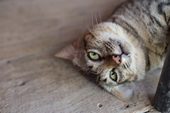 Portrait of green-eyed cat Royalty Free Stock Image