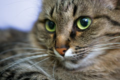 Portrait of green-eyed cat Royalty Free Stock Photos