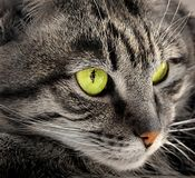 Portrait of green-eyed cat Stock Photo