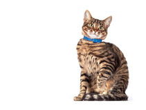 Portrait of green eyed cat Royalty Free Stock Images