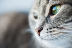 Portrait of green-eyed cat Stock Photography