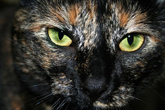 Portrait of green eyed dark haired cat Royalty Free Stock Images