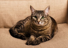 Portrait of green-eyed funky cat Royalty Free Stock Image