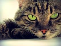 Green-eyed intelligent cat. Portrait of green-eyed intelligent cat, vintage effect Stock Image