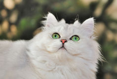 Portrait of green-eyed white cat looking up. Stock Image