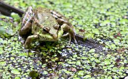 Portrait of a green frog on a background of grassy pond. South Ural Stock Images