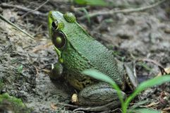 Portrait of green frog. Close up portrait of green frog on ground on sunny day Stock Image