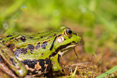 Portrait of green frog Rana esculenta sitting in natural envir Royalty Free Stock Photo