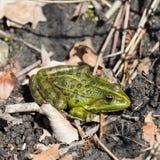 Portrait of green frog rana esculenta sitting on natural groun. Portrait of natural green frog rana esculenta sitting on natural ground Royalty Free Stock Images