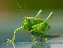 Portrait of a green grasshopper, Royalty Free Stock Image