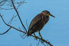Portrait of a Green Heron on Blue Stock Photo