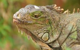 Portrait of green iguana Stock Photo