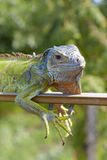 Portrait of green iguana Stock Photography
