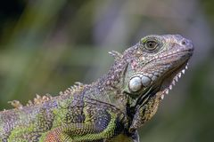 Portrait of a green iguana royalty free stock photography
