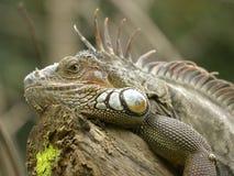 Portrait of green iguana. Or common iguana (Iguana iguana Stock Photo