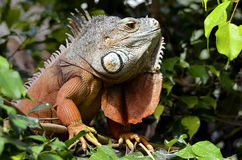 Portrait of green iguana Royalty Free Stock Photography