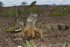 Portrait of Green Iguana facing the camera. Green Iguana facing the observer in a foraging group Royalty Free Stock Photo