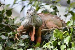 Portrait of green iguana Stock Image