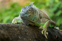 Portrait of a green iguana Stock Image
