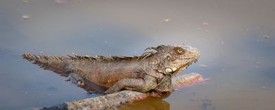 Green iguana in water. Portrait of a green iguana lying in a lake royalty free stock images