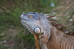 Portrait of a Green Iguana in the morning sun. In South Florida Royalty Free Stock Image