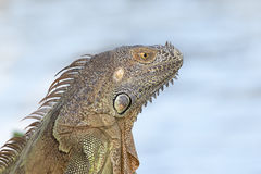 Portrait of a Green Iguana in the morning sun. In South Florida Royalty Free Stock Photo