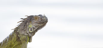 Portrait of a Green Iguana in the morning sun. In South Florida Royalty Free Stock Photos
