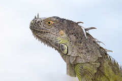 Portrait of a Green Iguana in the morning sun. In South Florida Stock Photo
