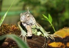 Portrait of Green Iguana outdoors Stock Photography