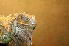 Portrait of a green iguana Royalty Free Stock Photo