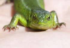 Portrait of green lizard Royalty Free Stock Image