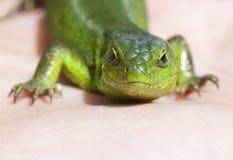 Portrait of green lizard Royalty Free Stock Image